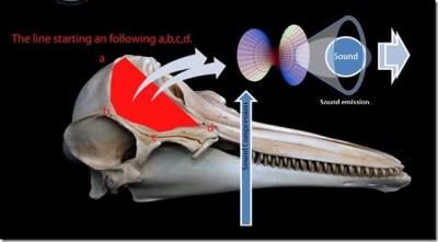 Le système de communication sonore chez les dauphins