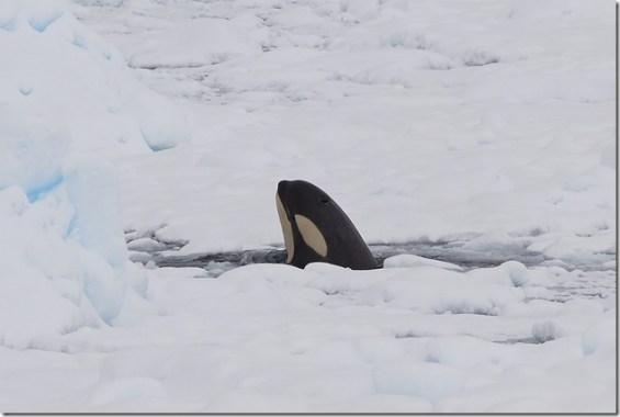 pablo caceres c - Orque dans l'Antarctique