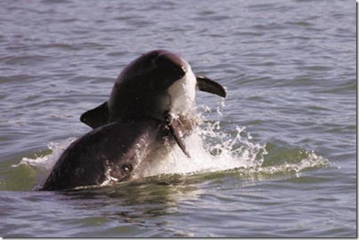 Dauphin attaquant un marsouin dans la baie de Monterey en Californie - Photo de Mark Cotter
