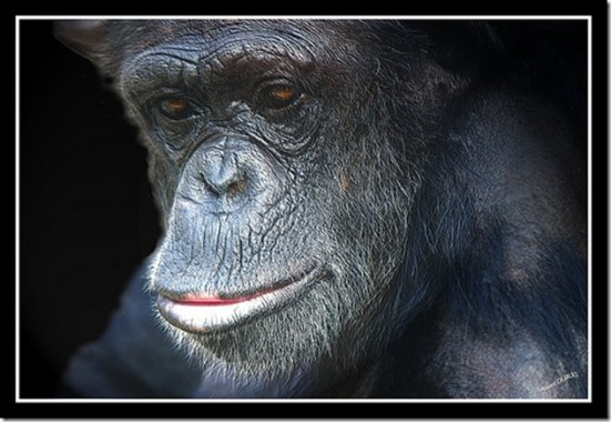 Les grands singes, entre anthropomorphisme et rejet - Photo de lolodoc