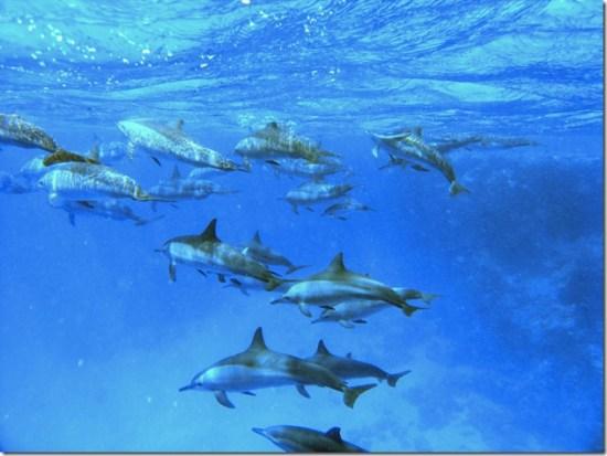alfonsator - dauphins communs dans la mer rouge