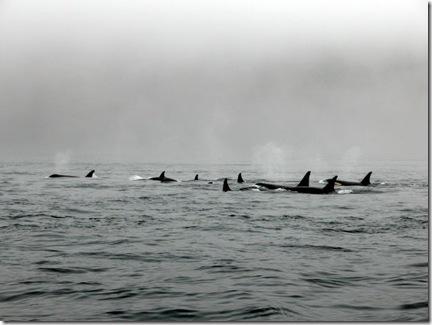 Une nouvelle technique de chasse découverte chez les orques