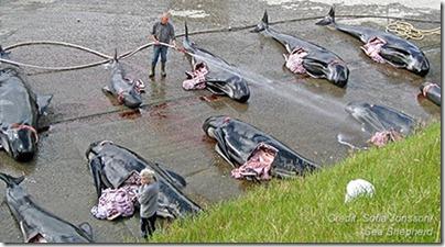 Massacre des globicéphales aux îles Féroé - Photo de Sofia Jonsson pour Sea Shepherd