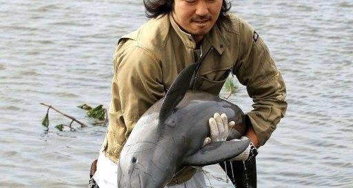 Le propriétaire de l'animalerie, Ryo Taira porte le marsouin capturé dans la rizière le 23 mars 2011 près de Sendai au Japon - Photo : AFP