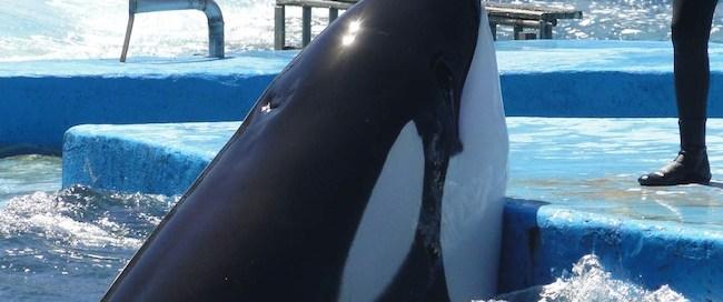 Kshamenk, la dernière orque captive d'argentine