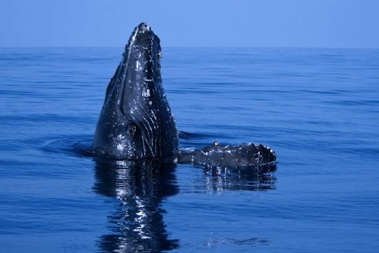"""Une baleine effectuant un """"spy hop"""""""