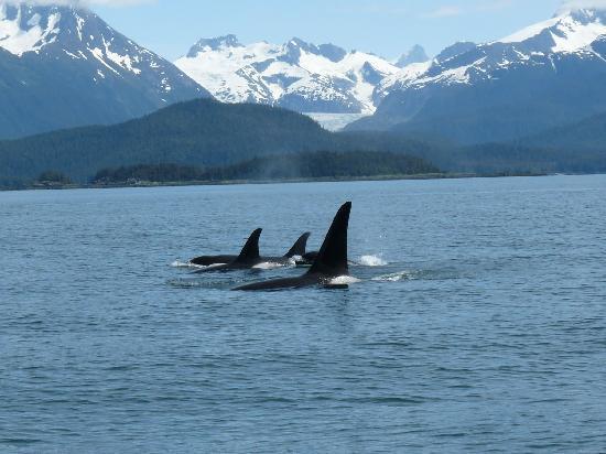 """""""Les baleines sont probablement les mammifères les plus connectés socialement, communicatifs et coordonnés sur la planète, même en comptant les humains,"""""""