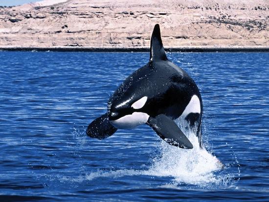 La Déclaration de Droits pour les Cétacés marque un tournant dans la lutte pour les baleines et dauphins
