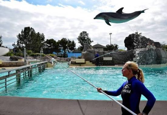 """Les dauphins captifs, un """"outil de travail"""" pour les dresseurs"""