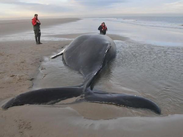 pays-bas-mise-a-mort-baleine