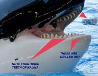 Un exemple des problèmes dentaires rencontrés par les orques captives