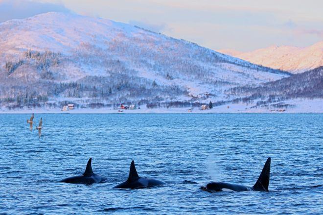 Les orques viennent aux fjords de Kvaløya pour se nourrir de harengs