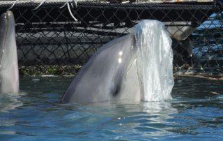 Un dauphin souffleur jouant avec un morceau de plastique