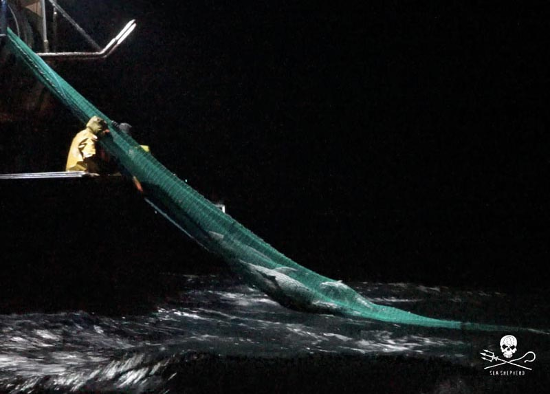 Vidéo de Sea Shepherd - dauphins pris dans un chalut