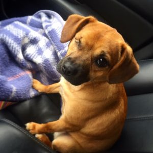 Pet rescue Penny sitting with her blanket on the car seat