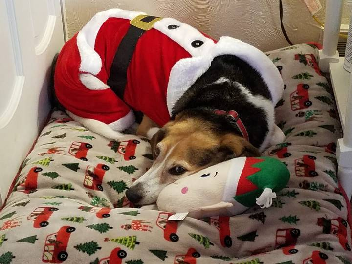 Beagle in Santa suit lying with an elf face pillow.