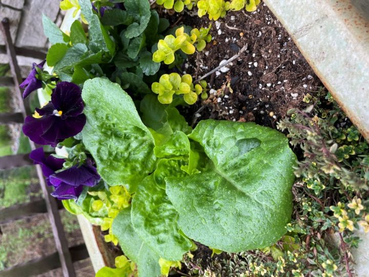 Pansies and lettuce were added to lemon thyme and creeping jenny that were over-wintered in a pot covered by a garbage bag. Two great winter tips:   cover pots too heavy to move so they don't crack in the winter and mix flowers and vegetables.