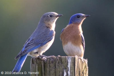 Female (left) and male (right) bluebirds