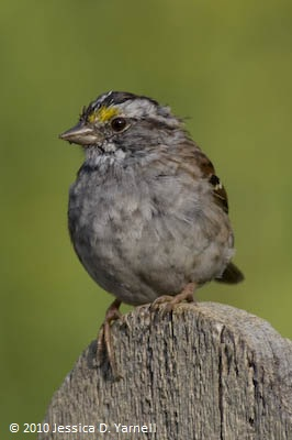 Juvenile white-throated sparrow