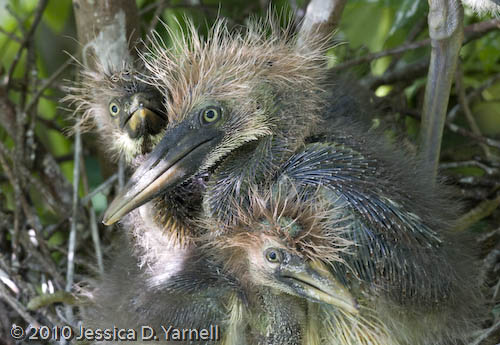 Tri-colored heron chicks