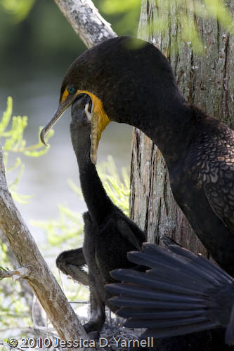 Double-crested cormorant feeding time