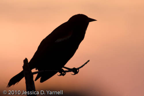 Red-winged Blackbird silhouette at dawn