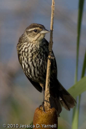 Female Red-Winged Blackbird on Cattail