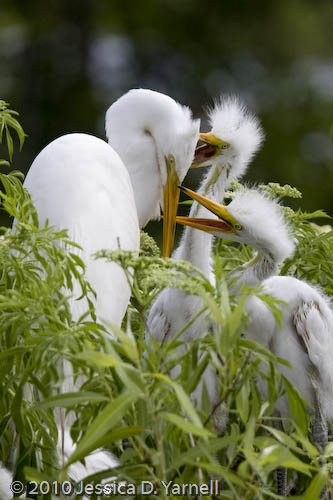Great egret mother and chicks
