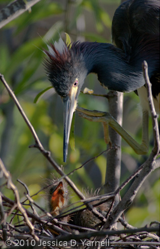 Tricolored Heron mother and babies