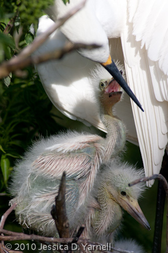 Snowy Egret mother and babies