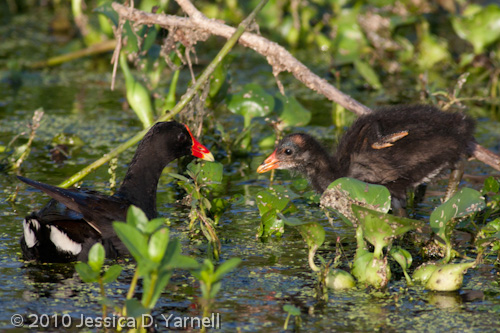 Common Moorhen mother and baby