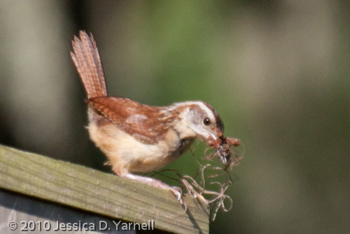 Carolina Wren adult with nesting material