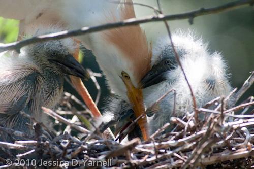 Cattle Egret feeding