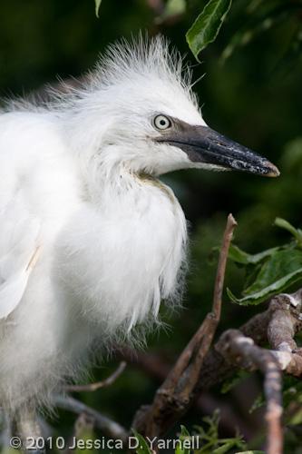 Cattle Egret chick