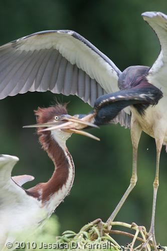 Tricolored Heron feeding