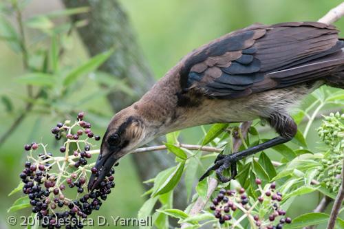 Juvenile Common Grackle