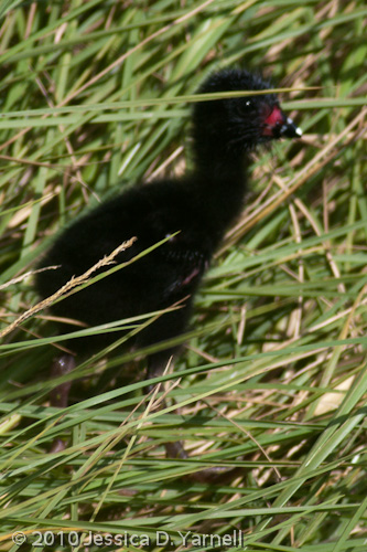 Purple Gallinule chick