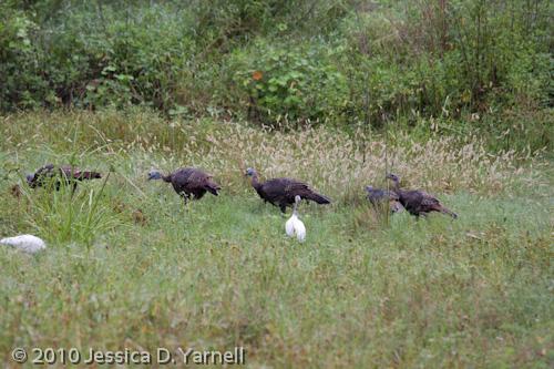 Wild Turkey family