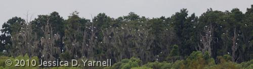 Wood Stork panorama