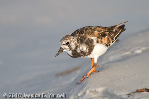 Ruddy Turnstone - Alternate plumage