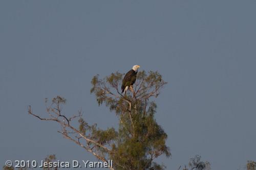 Bald Eagle (400mm lens alone, effective 640mm)
