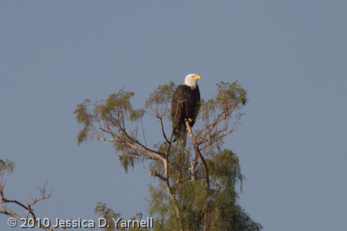 Bald Eagle (400mm lens + 1.4x teleconverter, effective 896mm)