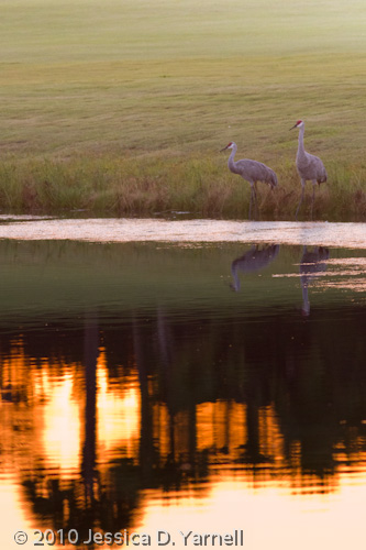 Sand Hill Crane sunset