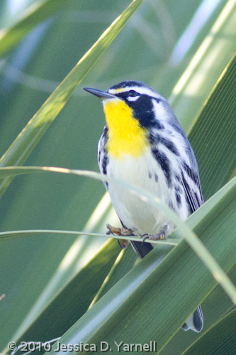 Bow Tie the Yellow-Throated Warbler