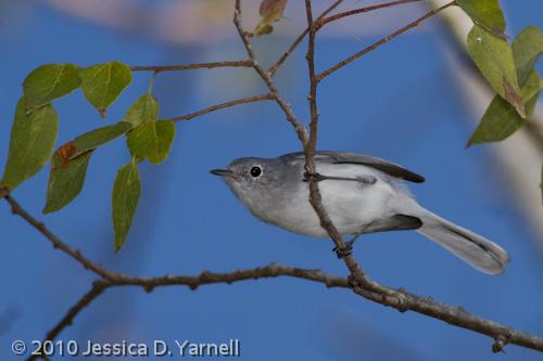 Blue-Gray Gnatcatcher (flash)