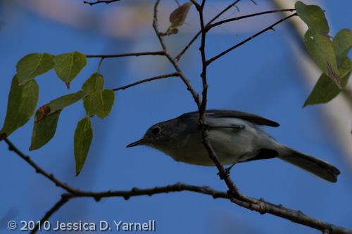 Blue-Gray Gnatcatcher (no flash)