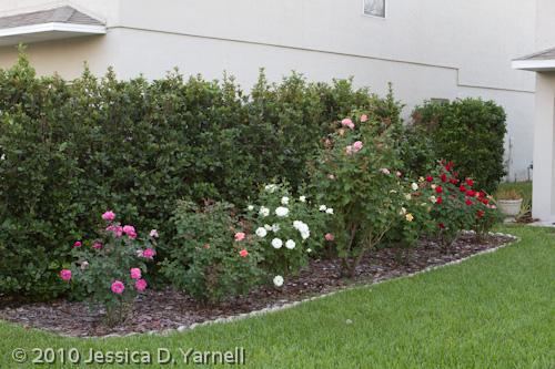 Floribunda Rosebed