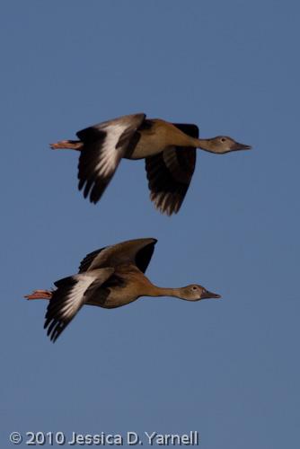 Black-Bellied Whistling Ducks (Juveniles)