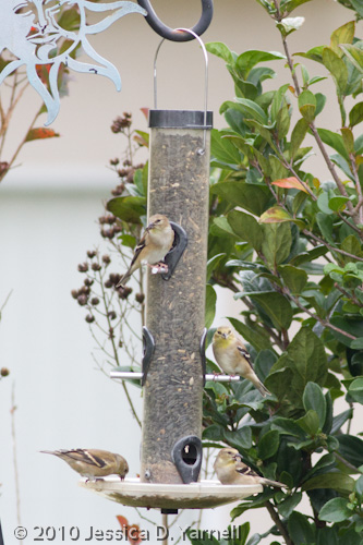 Goldfinch party