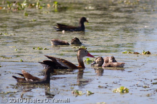 Baby Black-Bellied Whistling Ducks